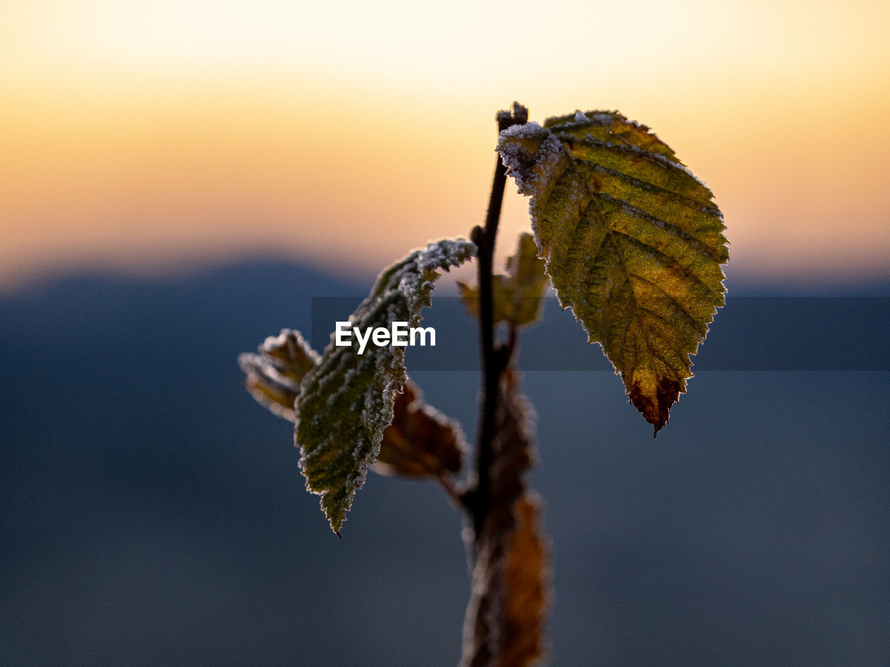 Close-up of dried leaves on plant against sky at sunset