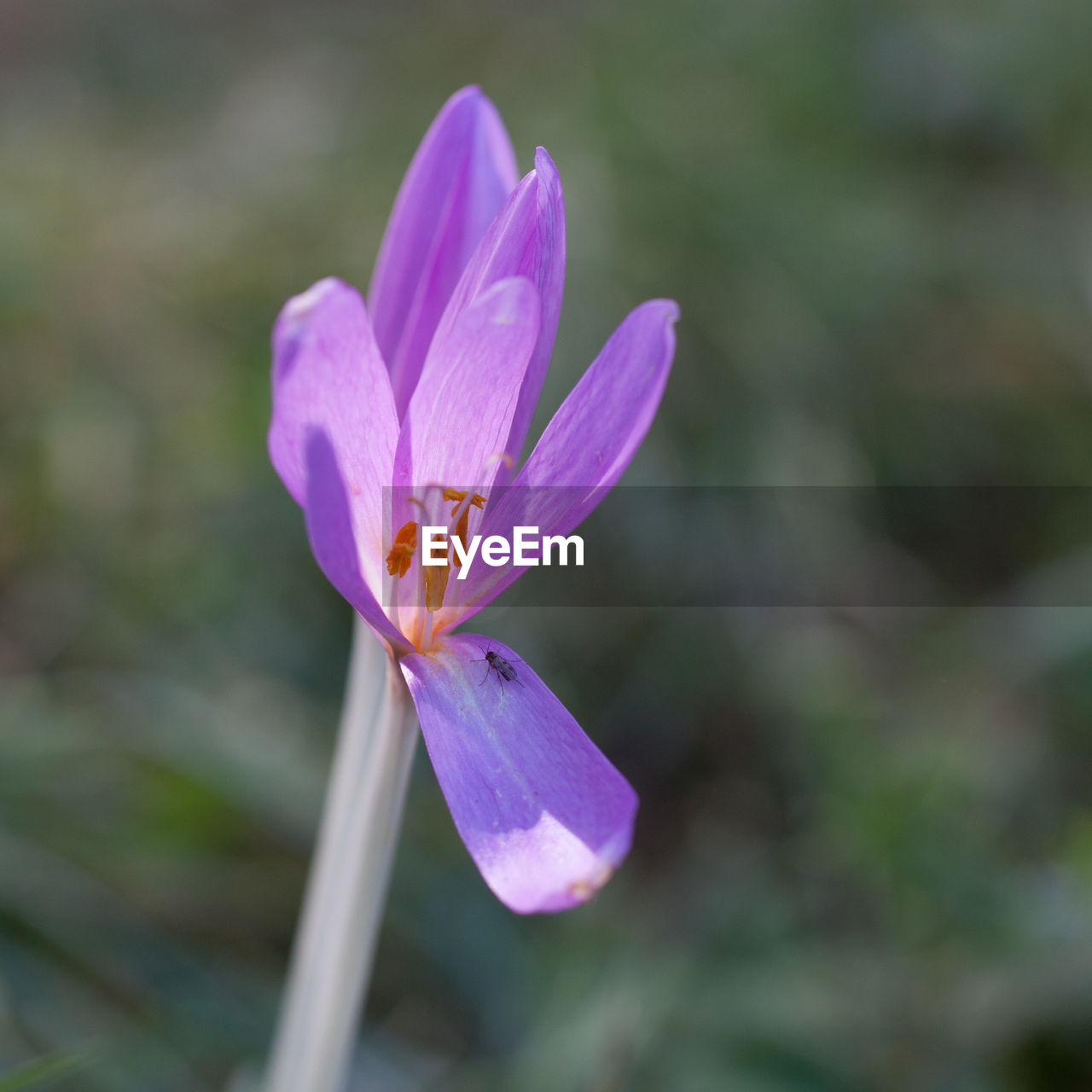 flower, flowering plant, vulnerability, fragility, freshness, beauty in nature, petal, plant, flower head, inflorescence, growth, close-up, purple, pollen, nature, no people, focus on foreground, day, outdoors, crocus