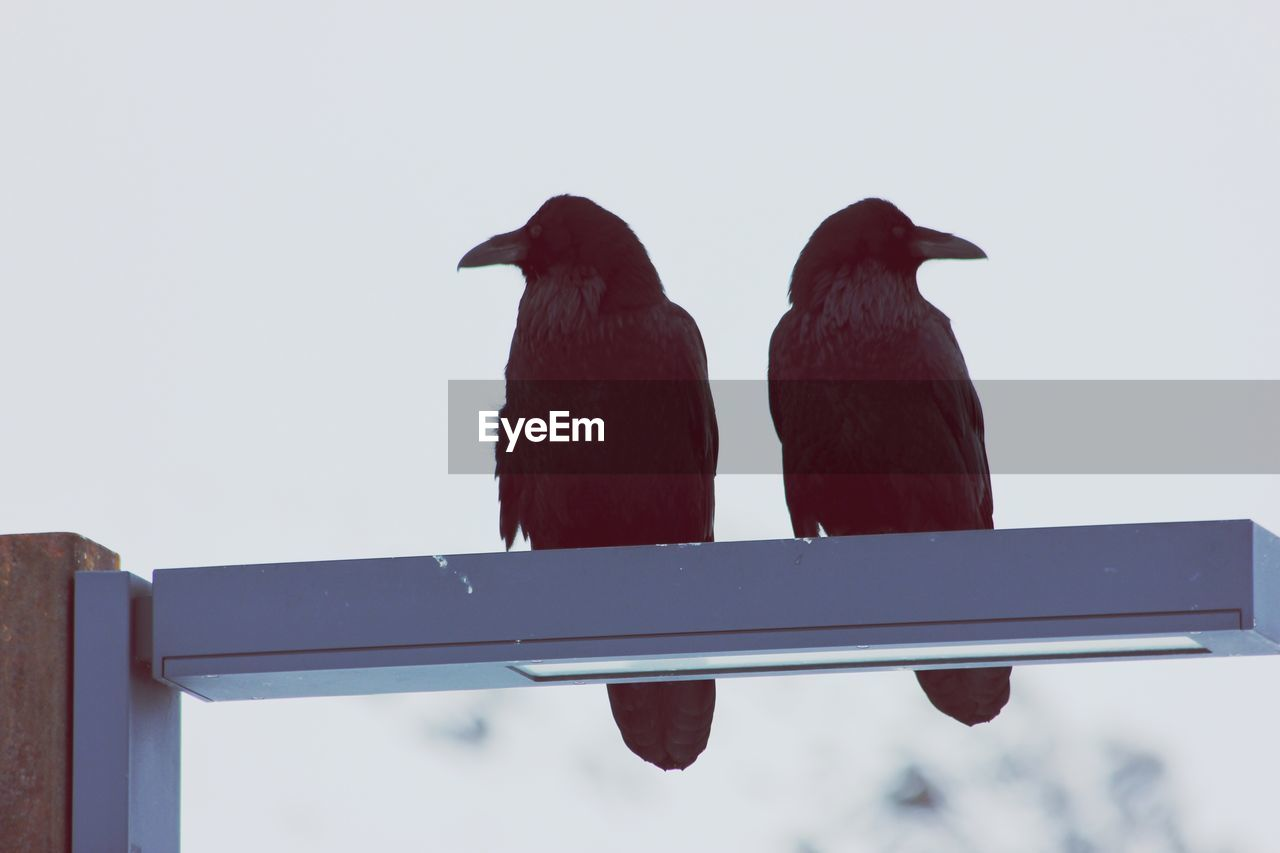 Low Angle View Of Crows Perching Against Sky