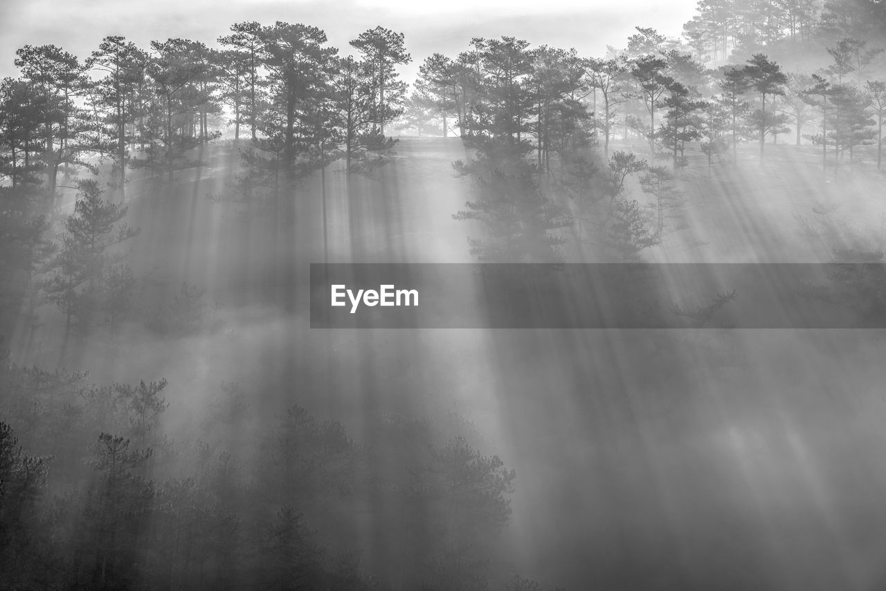 SUNLIGHT STREAMING THROUGH TREES IN FOREST DURING FOGGY WEATHER