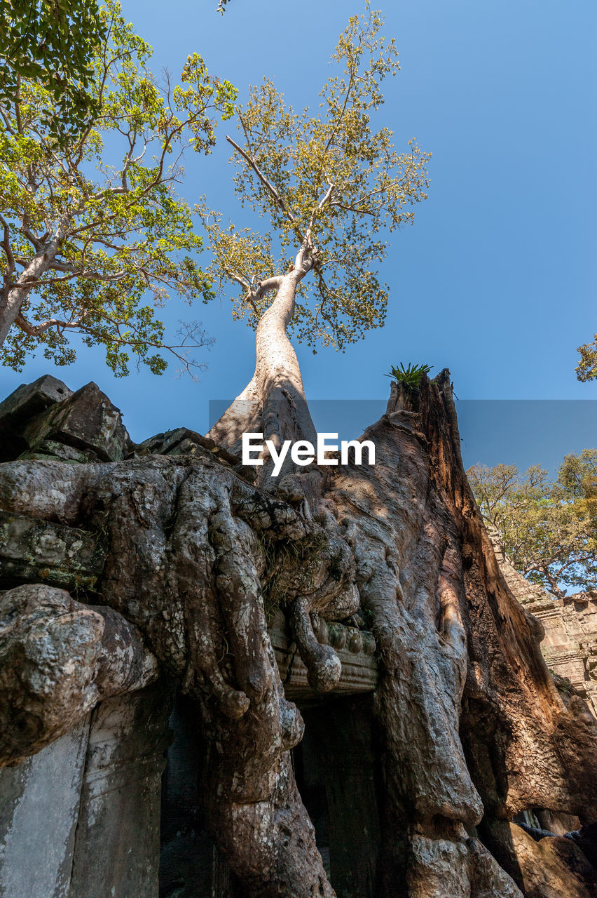 tree, plant, sky, nature, no people, day, tree trunk, trunk, low angle view, growth, clear sky, beauty in nature, outdoors, tranquility, textured, sunlight, land, rock, branch, blue, bark