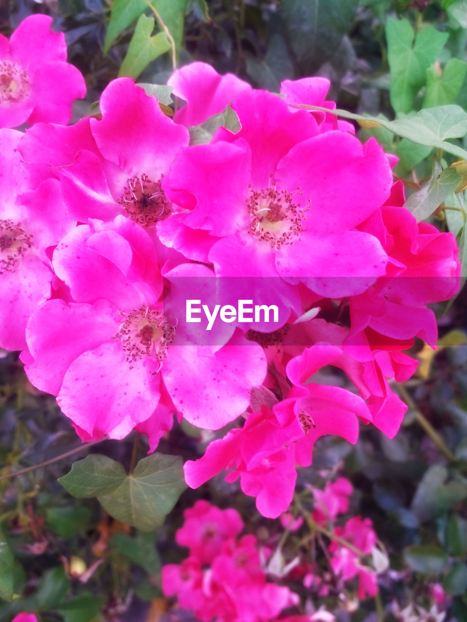 flower, pink color, petal, nature, plant, beauty in nature, growth, fragility, no people, outdoors, flower head, blooming, day, close-up, freshness