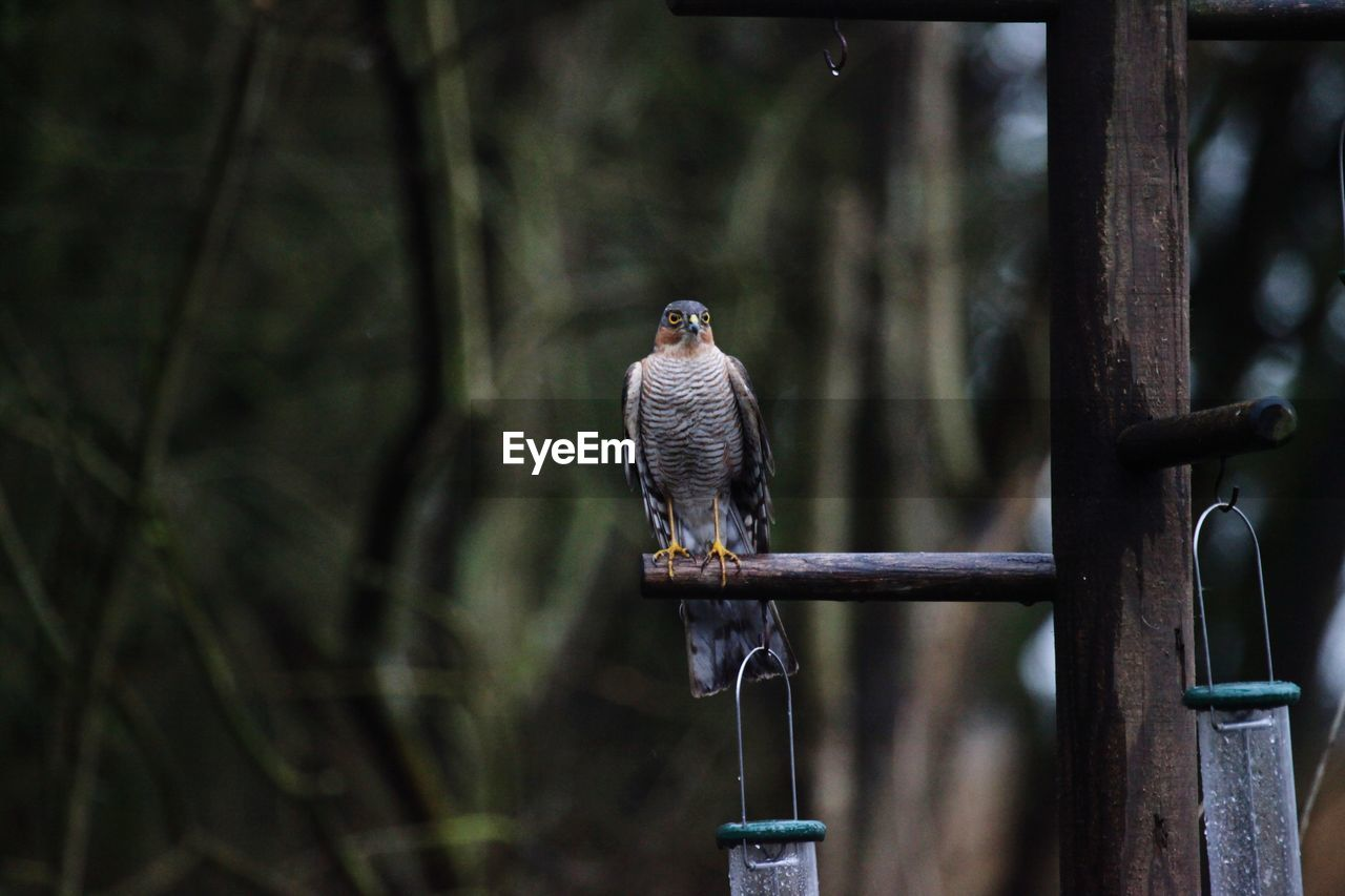 This sparrowhawk chased off all other birds