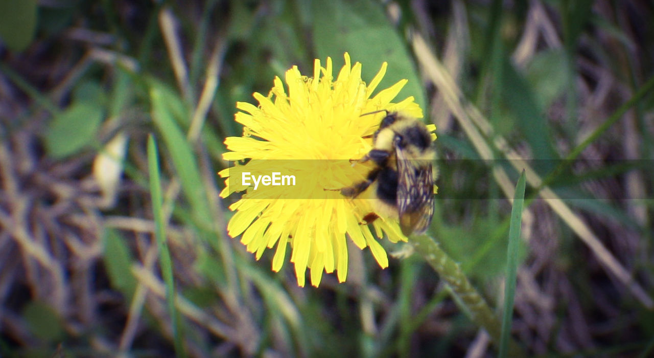 flower, yellow, fragility, petal, insect, nature, one animal, beauty in nature, plant, animal themes, flower head, growth, freshness, bee, animals in the wild, no people, pollination, outdoors, blooming, close-up, day, bumblebee, buzzing