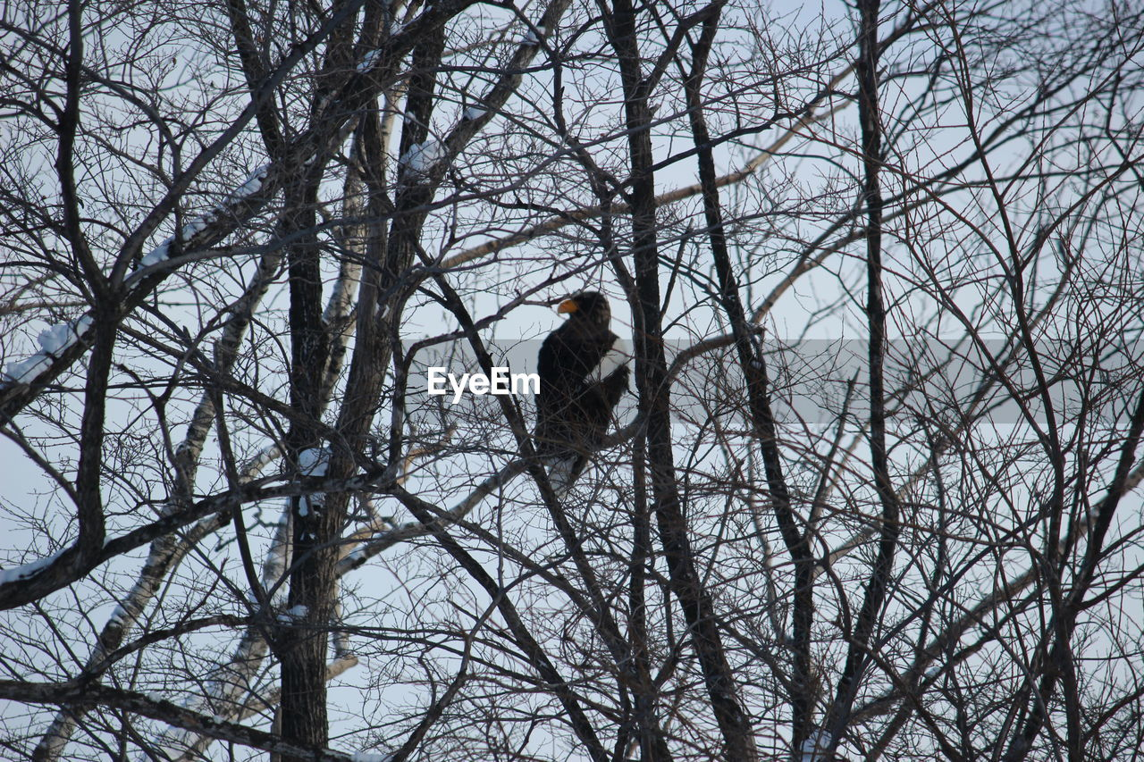 tree, bare tree, bird, vertebrate, animals in the wild, branch, low angle view, perching, animal wildlife, one animal, plant, nature, day, no people, sky, outdoors, winter, eagle