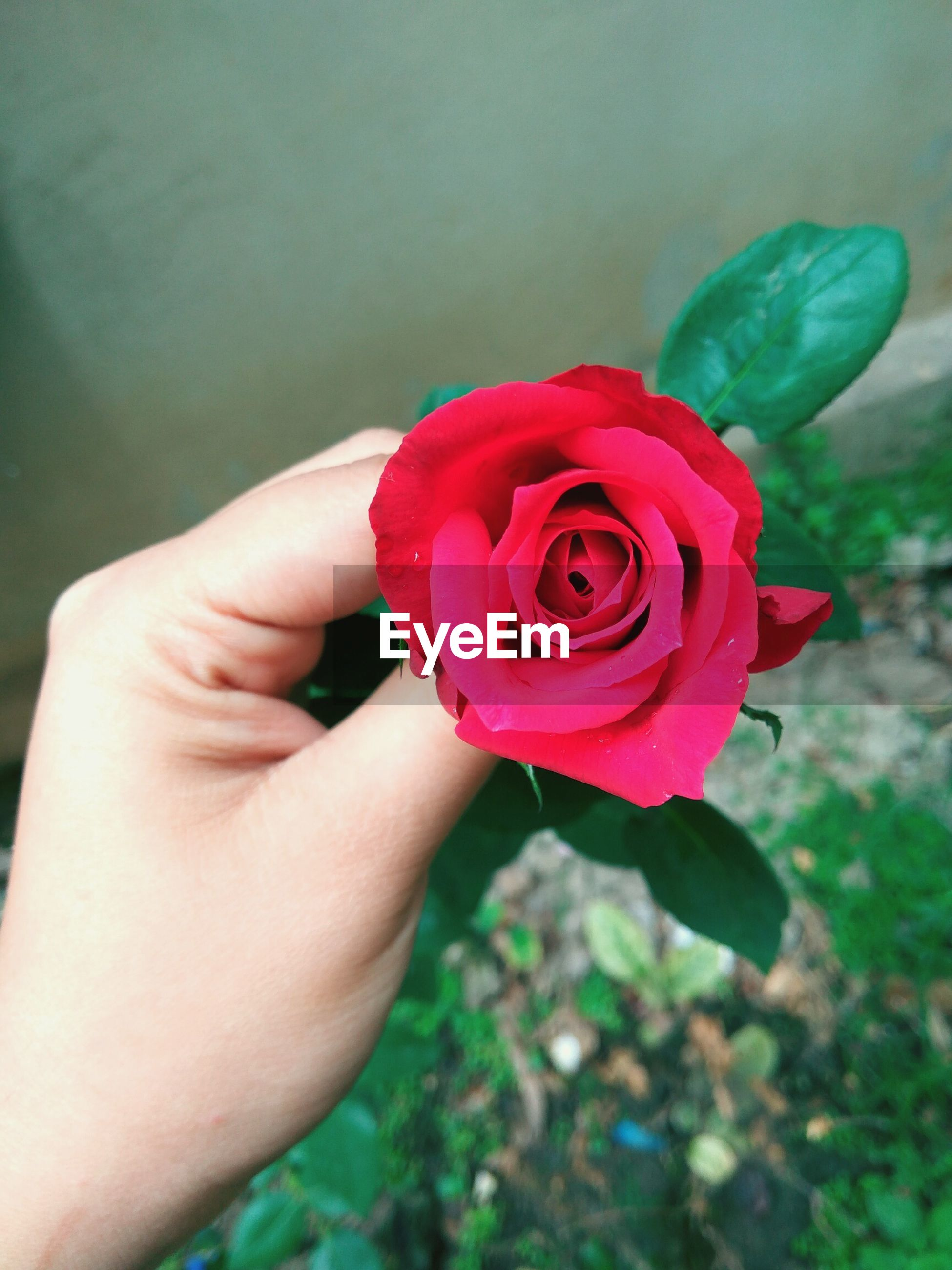flower, petal, fragility, rose - flower, red, flower head, human hand, nature, one person, real people, freshness, beauty in nature, close-up, plant, human body part, outdoors, day