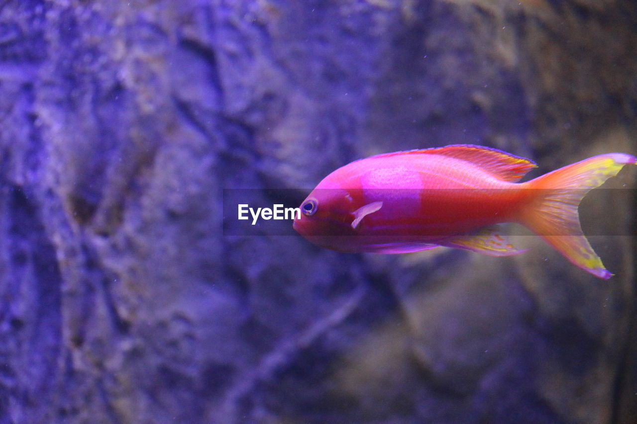 one animal, animal themes, sea life, animals in the wild, underwater, swimming, water, no people, animal wildlife, fish, close-up, nature, focus on foreground, aquarium, red, undersea, indoors, beauty in nature, day