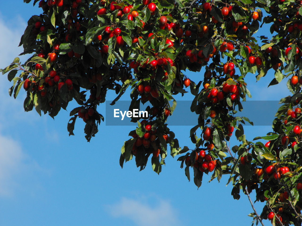 fruit, healthy eating, food, food and drink, growth, plant, berry fruit, tree, red, freshness, sky, wellbeing, beauty in nature, nature, branch, low angle view, day, rowanberry, leaf, fruit tree, no people, ripe, outdoors