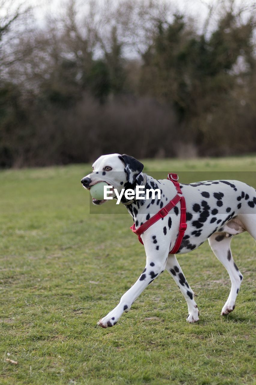 Dalmatian Dog Running With Ball On Field