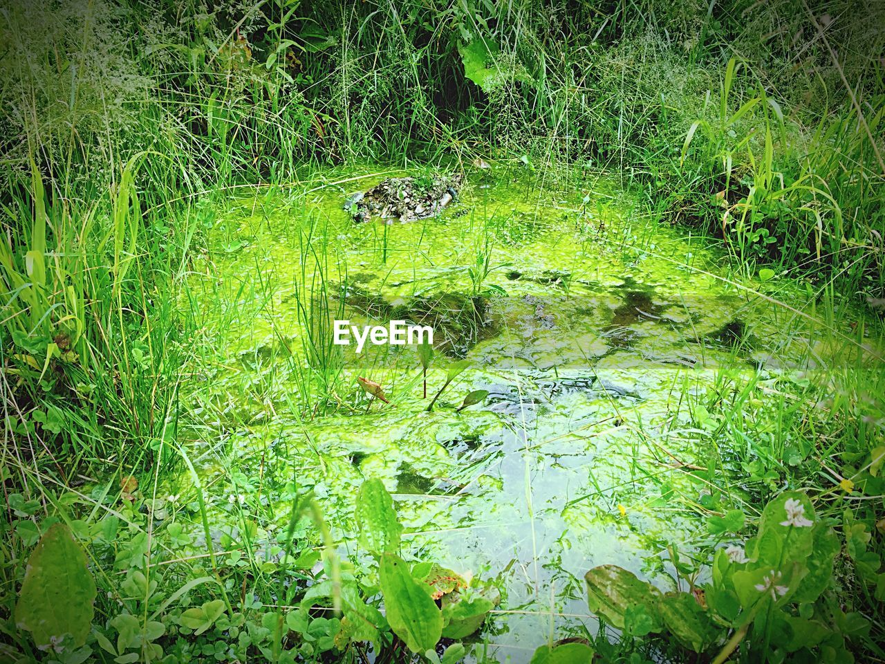 animal themes, animals in the wild, green color, nature, water, grass, growth, floating on water, no people, swamp, one animal, outdoors, day, lake, reptile, algae, water plant, swimming, animal wildlife, alligator, plant, forest, beauty in nature, lily pad