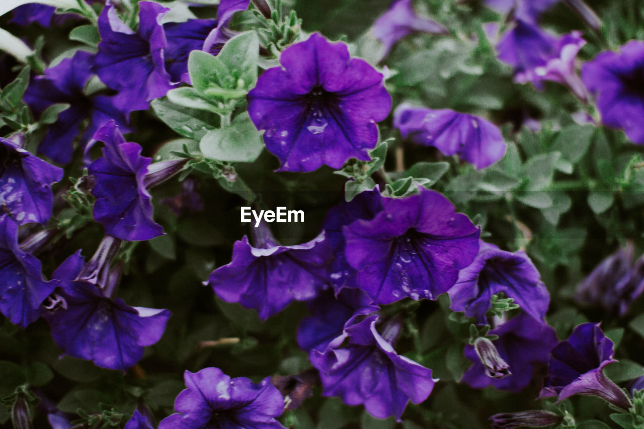 flower, beauty in nature, growth, purple, nature, fragility, petal, plant, no people, outdoors, day, freshness, flower head, petunia