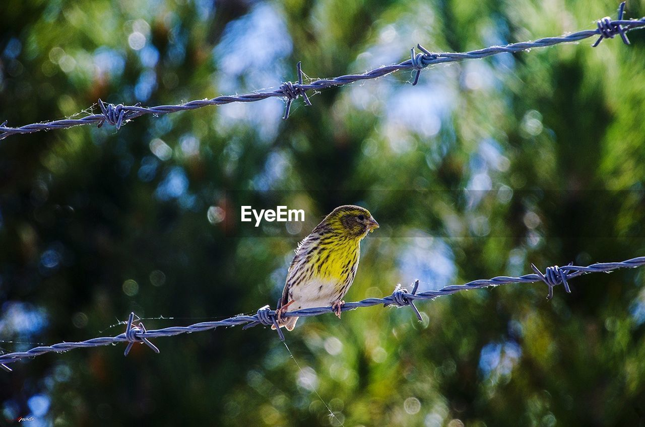 bird, animals in the wild, one animal, animal themes, animal wildlife, perching, day, nature, focus on foreground, outdoors, cable, no people, tree, beauty in nature