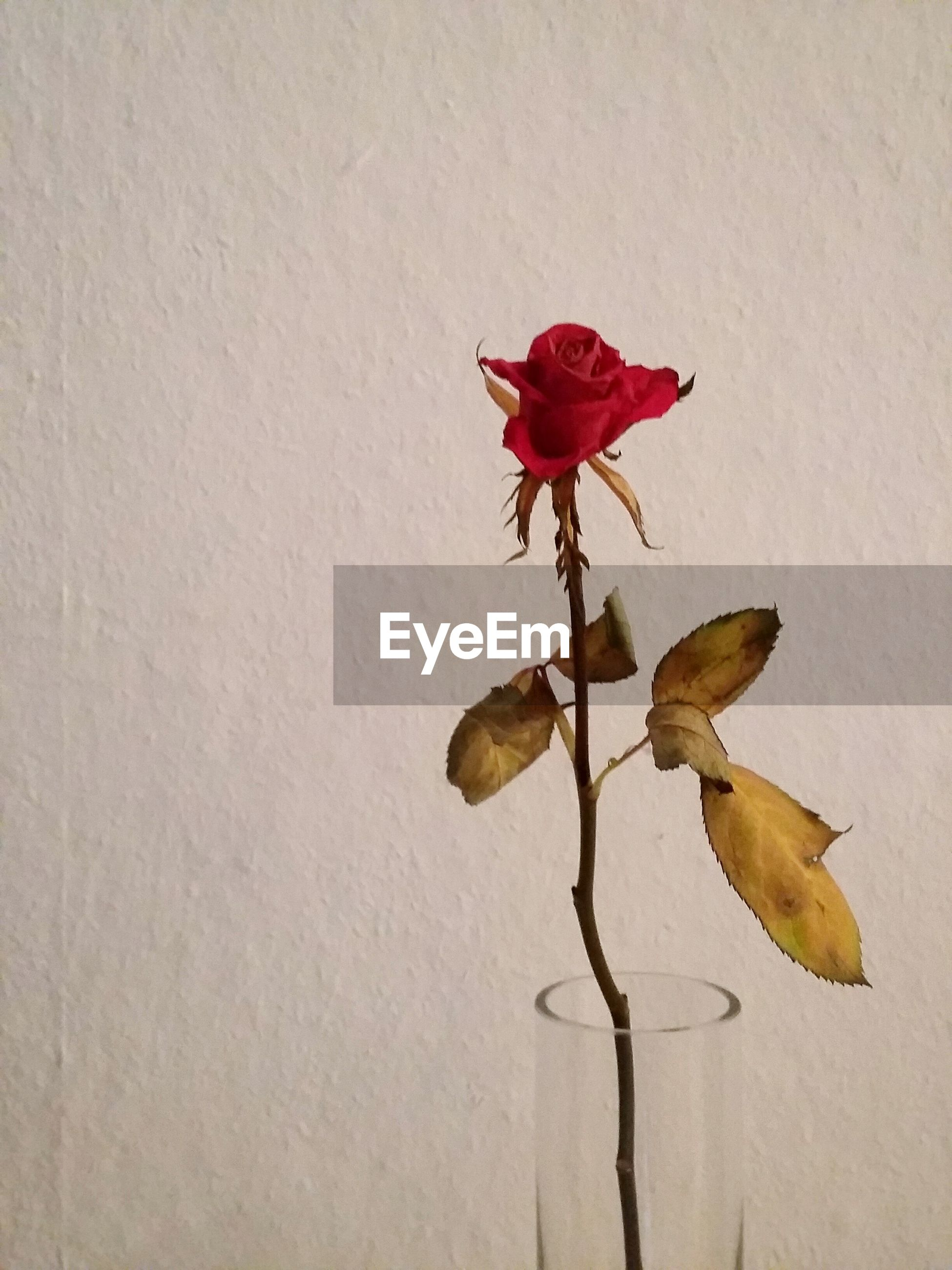 Red rose in vase against wall