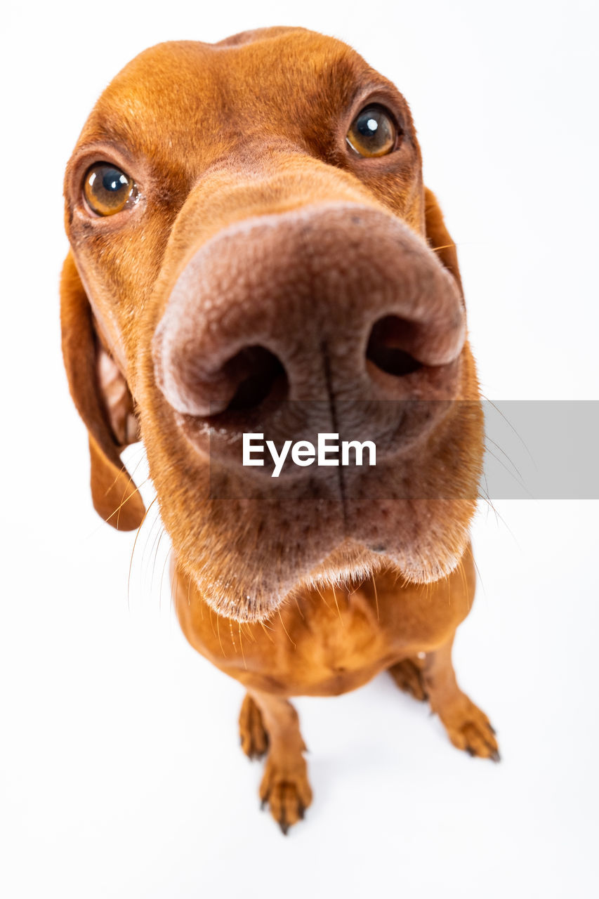 one animal, mammal, domestic animals, domestic, pets, animal themes, animal, canine, dog, studio shot, white background, close-up, indoors, brown, animal body part, portrait, looking at camera, no people, vertebrate, animal head, animal nose, whisker, snout