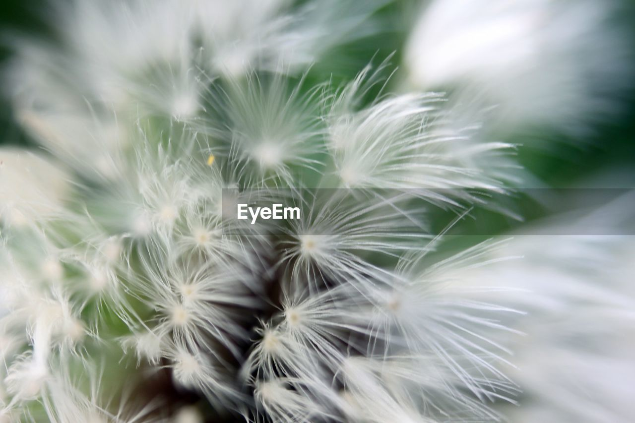 Extreme Close-Up Of Dandelion In Park