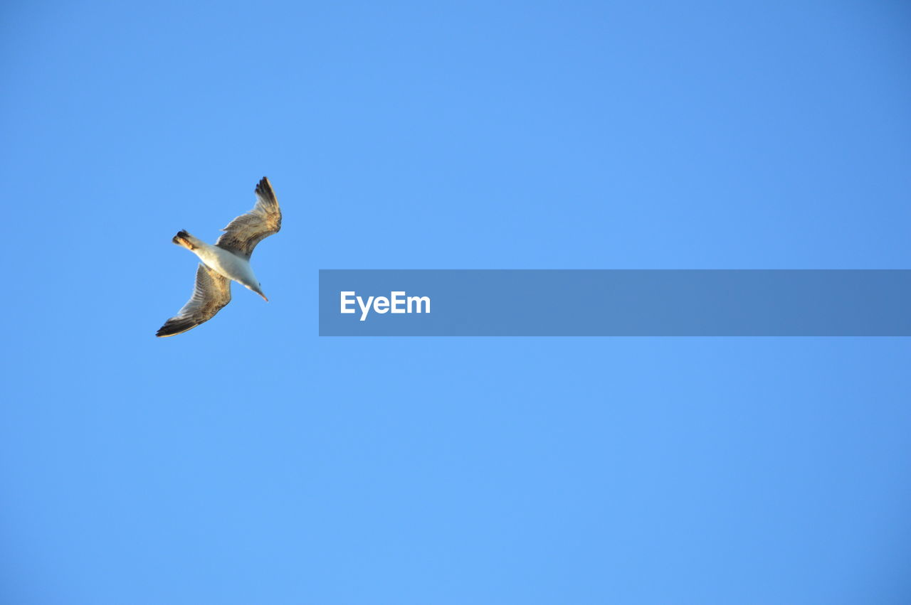 animals in the wild, flying, animal wildlife, sky, vertebrate, bird, clear sky, animal themes, animal, spread wings, blue, low angle view, one animal, copy space, mid-air, no people, day, nature, motion, beauty in nature, seagull, outdoors