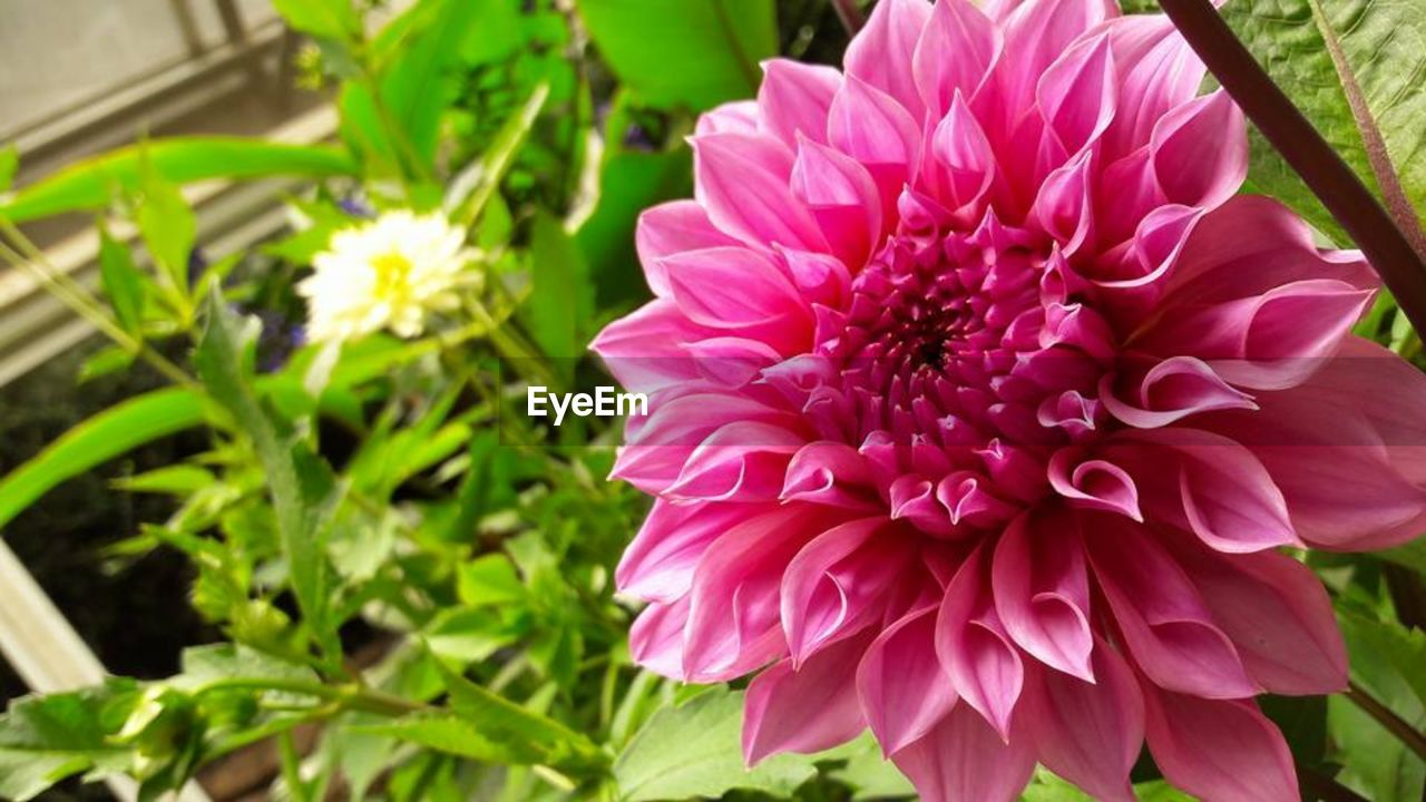 flower, petal, nature, beauty in nature, fragility, flower head, growth, freshness, plant, no people, blooming, close-up, pink color, outdoors, day, dahlia, leaf