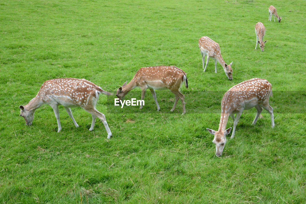 High angle view of deer grazing on grassy field