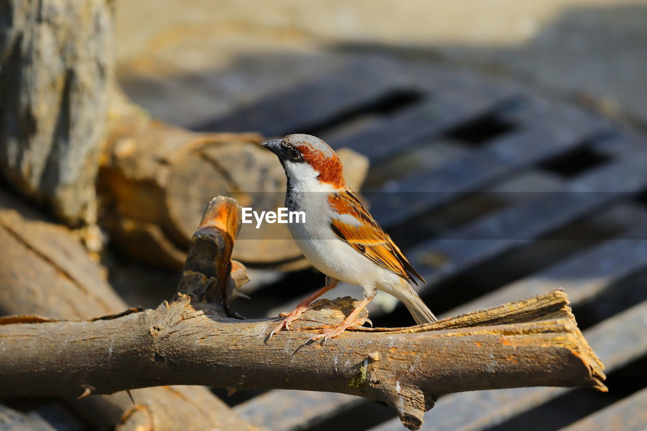 Domestic white yellow red colour bird /sparrow sitting on neem dry wood