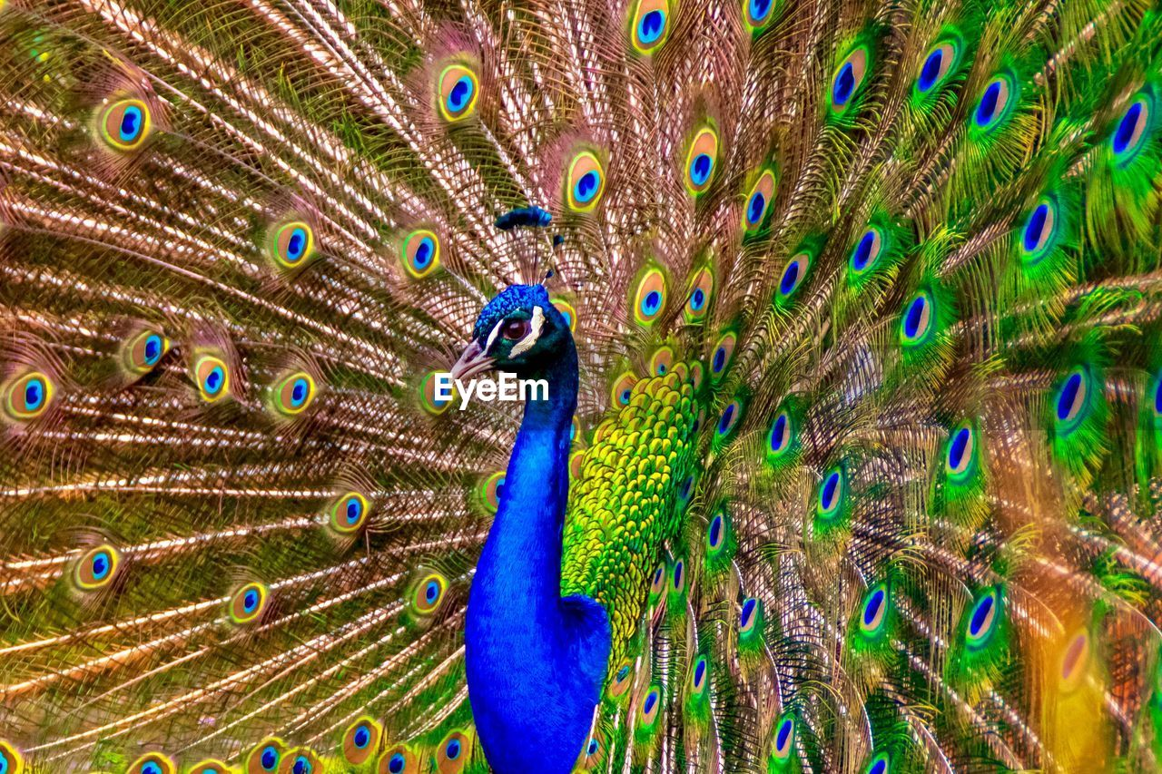 peacock, peacock feather, animal themes, feather, bird, animal, animal wildlife, one animal, multi colored, vertebrate, beauty in nature, no people, animals in the wild, fanned out, close-up, full frame, nature, beauty, blue, animal body part, animal head