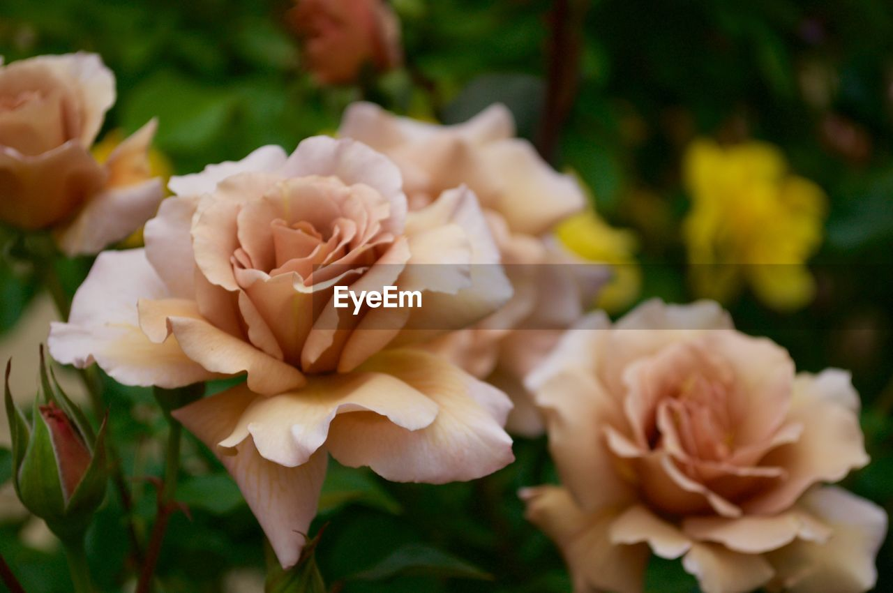 flower, petal, nature, plant, fragility, focus on foreground, beauty in nature, close-up, flower head, growth, rose - flower, day, no people, outdoors, freshness, blooming
