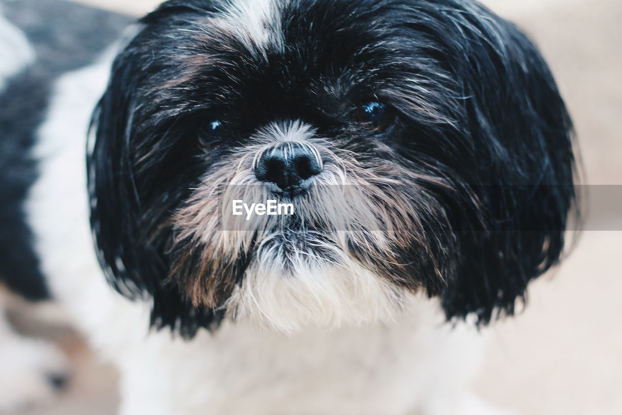 one animal, dog, canine, mammal, domestic, pets, animal, animal themes, domestic animals, vertebrate, close-up, portrait, looking at camera, hair, animal hair, lap dog, focus on foreground, no people, animal body part, indoors, animal head, shih tzu, small, snout