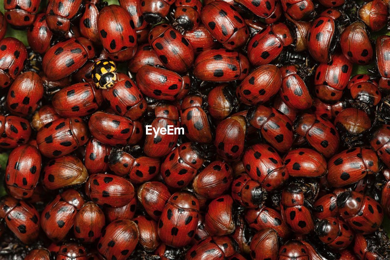 Full frame shot of ladybugs