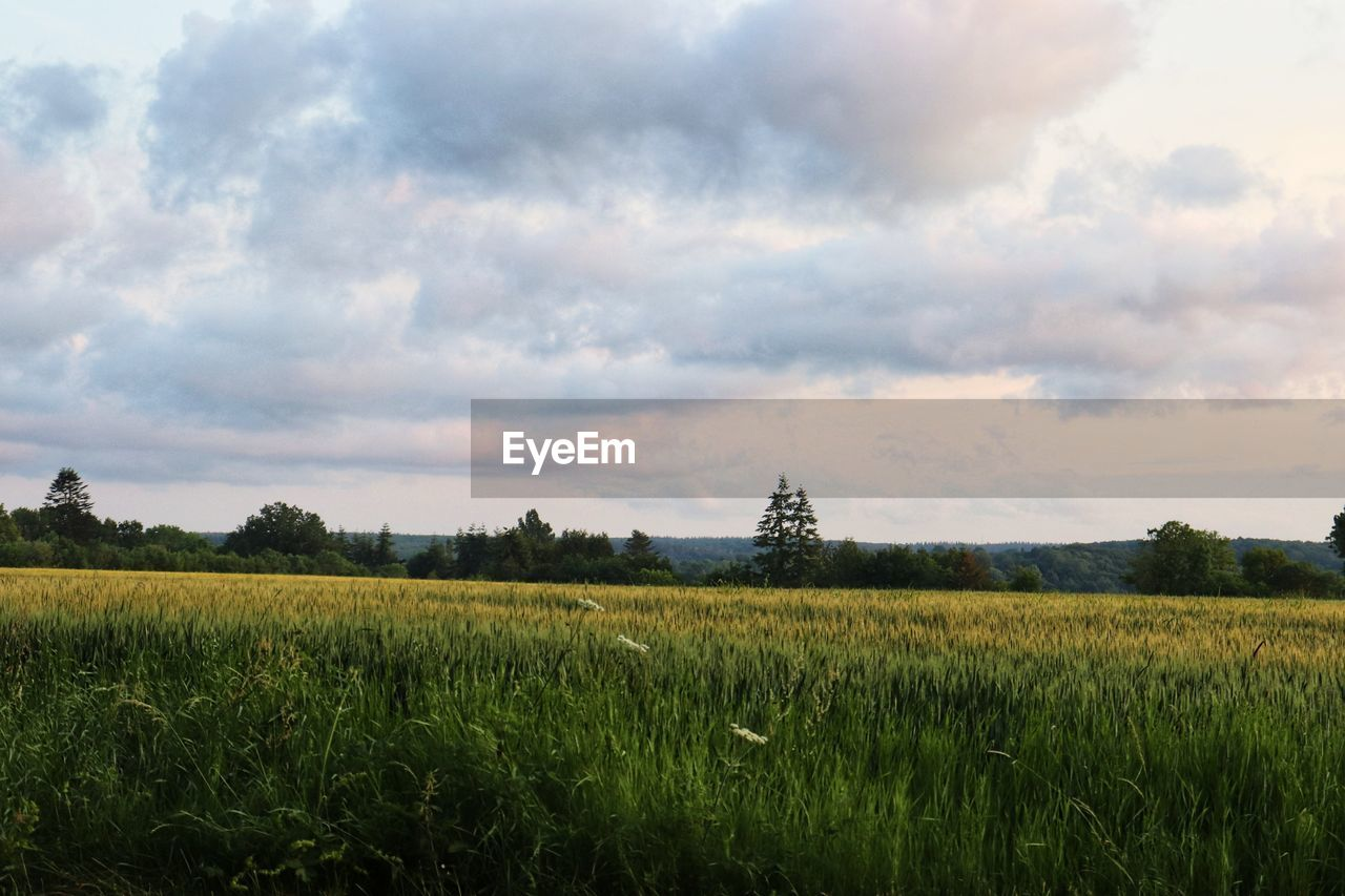 field, sky, landscape, cloud - sky, land, environment, plant, growth, beauty in nature, rural scene, scenics - nature, agriculture, tranquil scene, tranquility, nature, crop, green color, farm, no people, day, outdoors