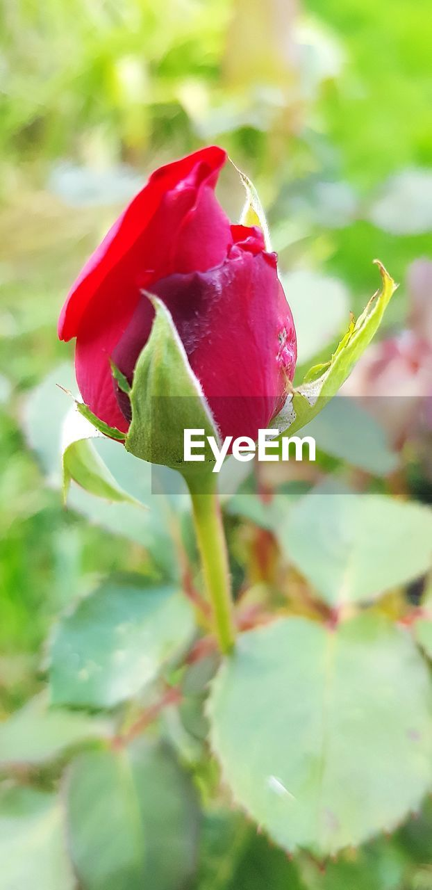 flowering plant, flower, red, beauty in nature, vulnerability, plant, fragility, petal, freshness, growth, close-up, flower head, inflorescence, rose, rose - flower, nature, day, bud, sepal, no people, outdoors