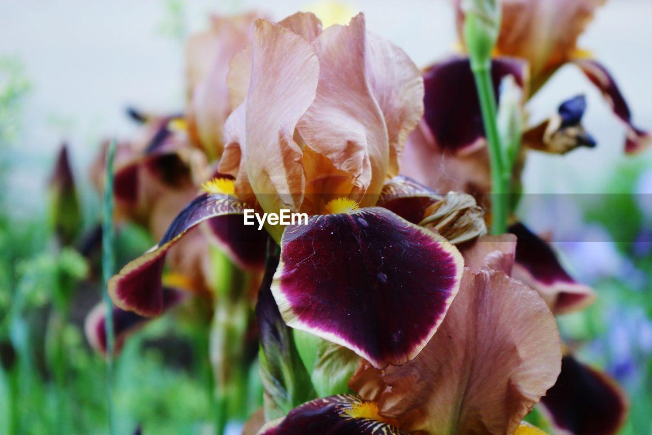 Close-up of purple rose flower