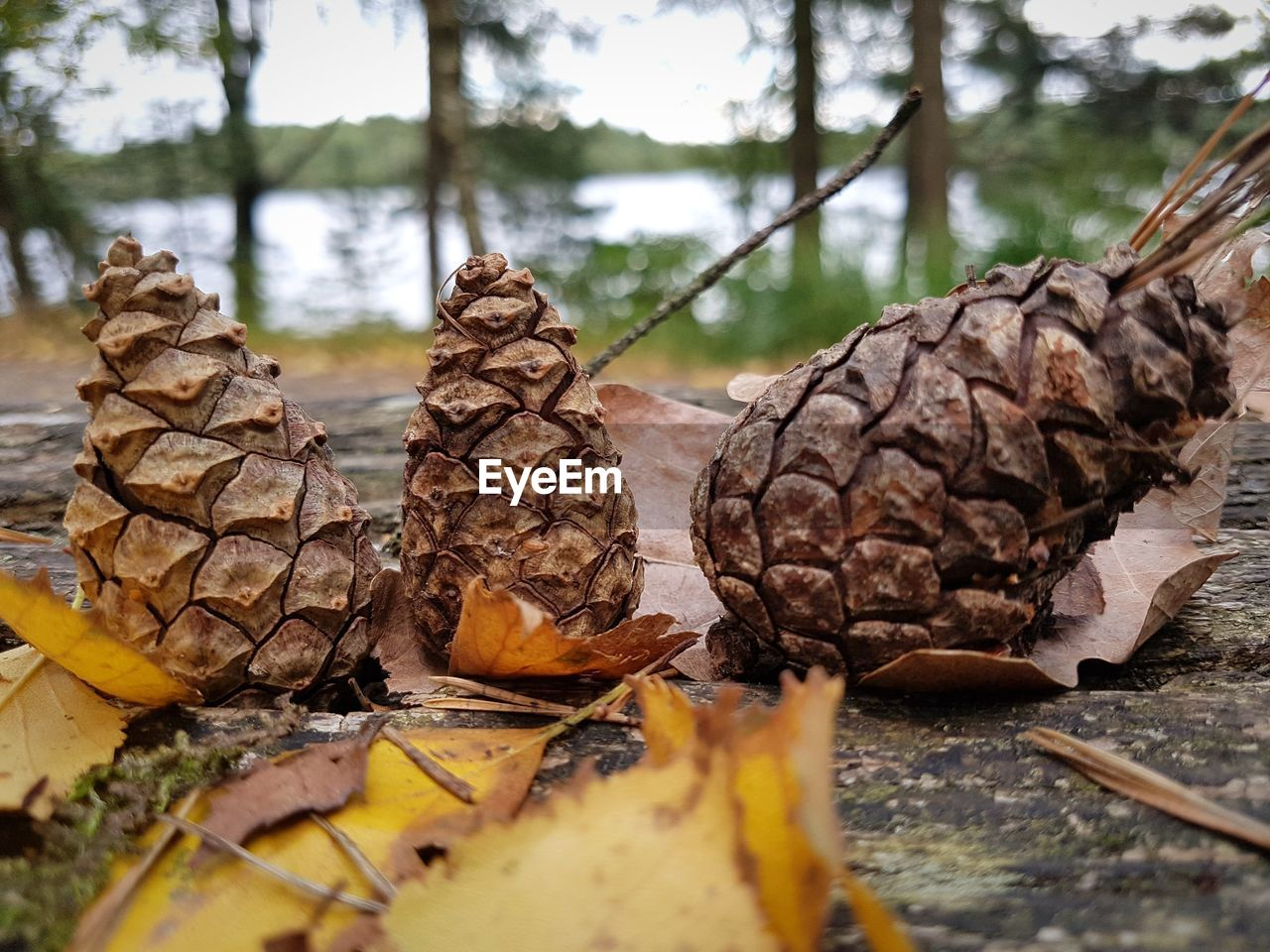 nature, close-up, plant, day, tree, leaf, selective focus, plant part, no people, dry, food and drink, land, brown, outdoors, food, pine cone, forest, focus on foreground, beauty in nature, falling, leaves, change, surface level, dried, coniferous tree