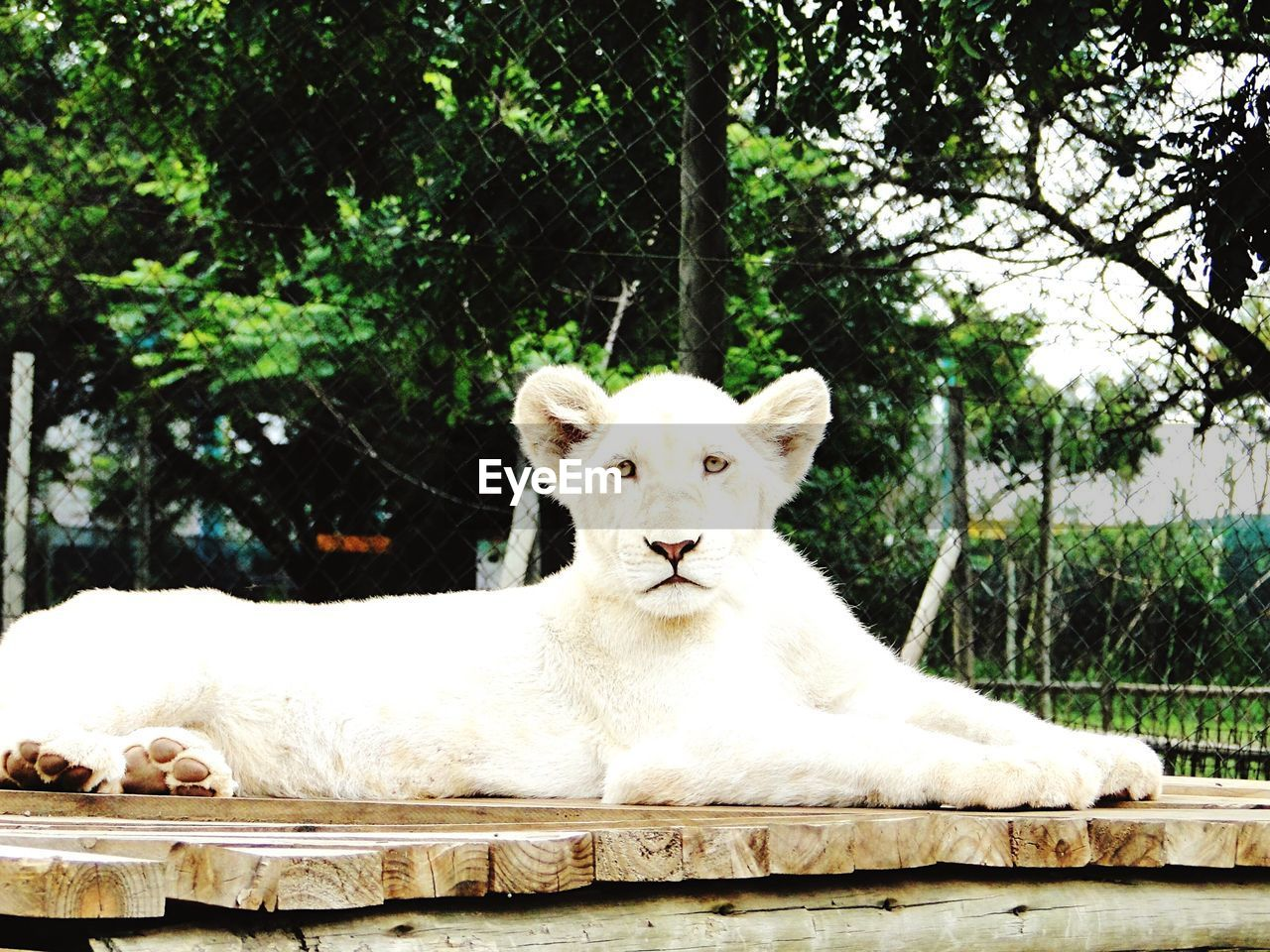 White Lion Staring While Sitting On Wooden Plank