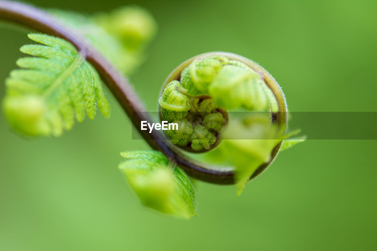 green color, close-up, food and drink, no people, food, freshness, leaf, plant part, selective focus, plant, healthy eating, fruit, nature, growth, wellbeing, focus on foreground, beauty in nature, day, outdoors, beginnings
