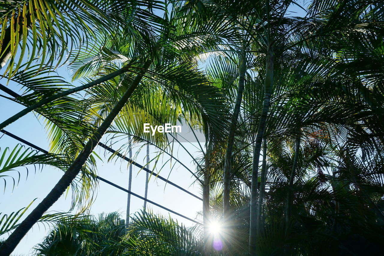 tree, palm tree, growth, low angle view, nature, no people, day, outdoors, sky, green color, palm frond, leaf, tree trunk, branch, beauty in nature, close-up