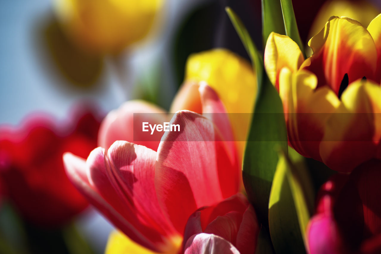 flower, flowering plant, beauty in nature, plant, freshness, petal, vulnerability, fragility, growth, close-up, flower head, inflorescence, tulip, nature, day, red, no people, selective focus, yellow, sunlight
