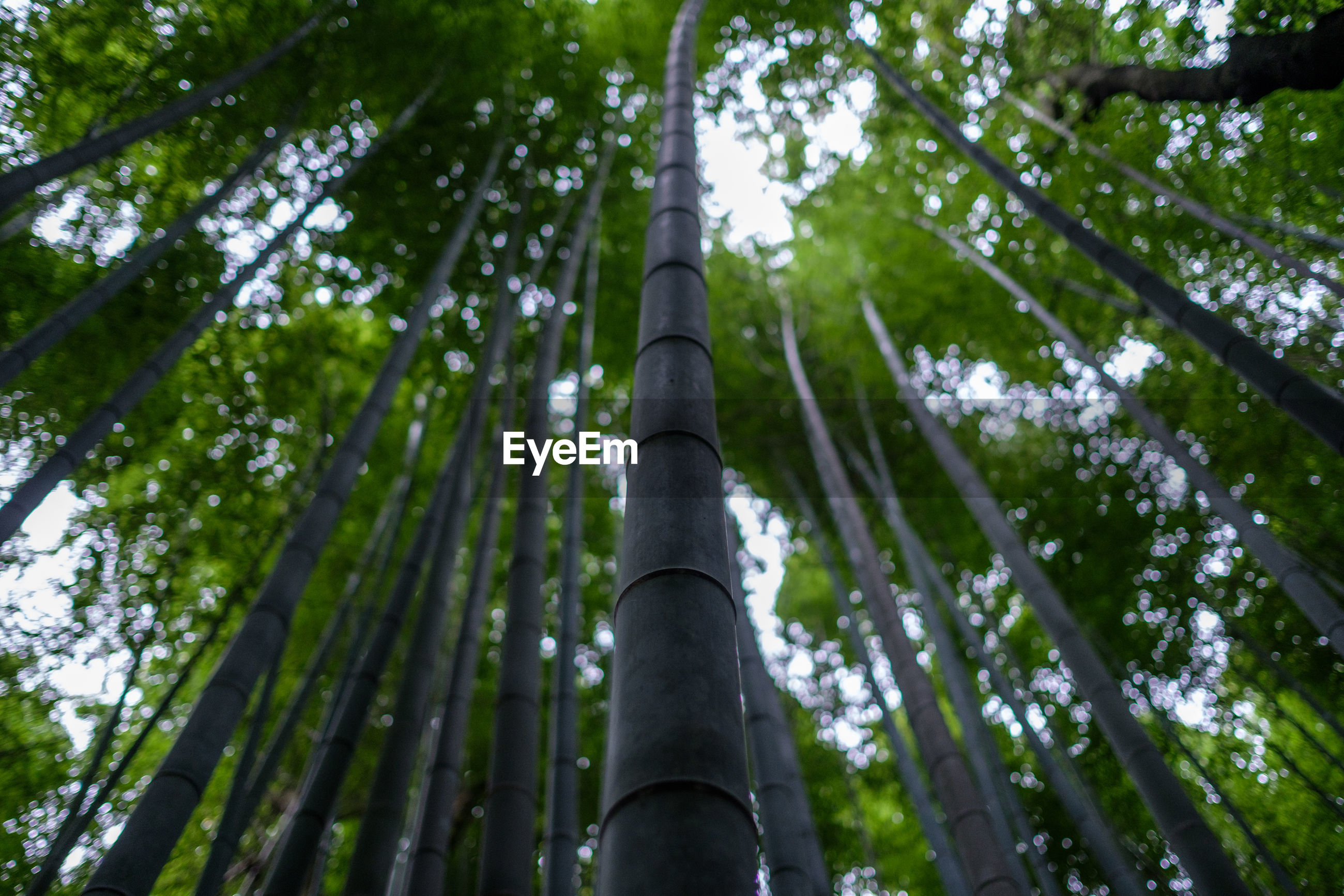 LOW ANGLE VIEW OF BAMBOO TREE IN FOREST