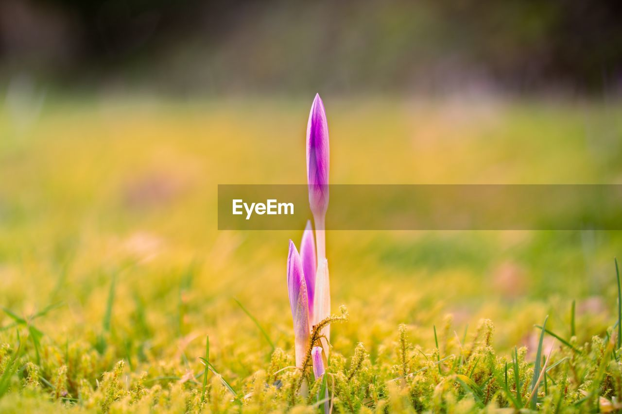 plant, pink color, growth, beauty in nature, selective focus, flower, close-up, land, nature, field, flowering plant, grass, fragility, green color, vulnerability, no people, freshness, crocus, purple, focus on foreground, outdoors, flower head, iris