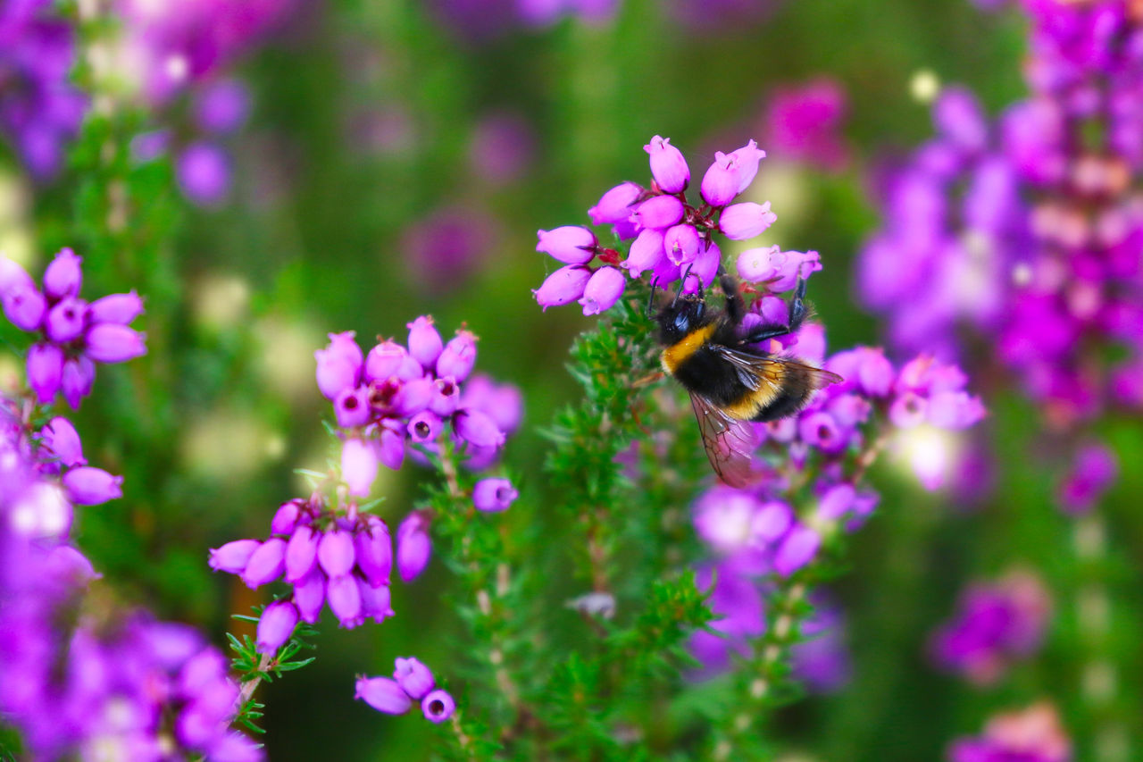 flowering plant, flower, invertebrate, insect, animal themes, beauty in nature, freshness, animals in the wild, one animal, fragility, animal wildlife, plant, bee, animal, petal, vulnerability, flower head, growth, pollination, purple, no people, bumblebee