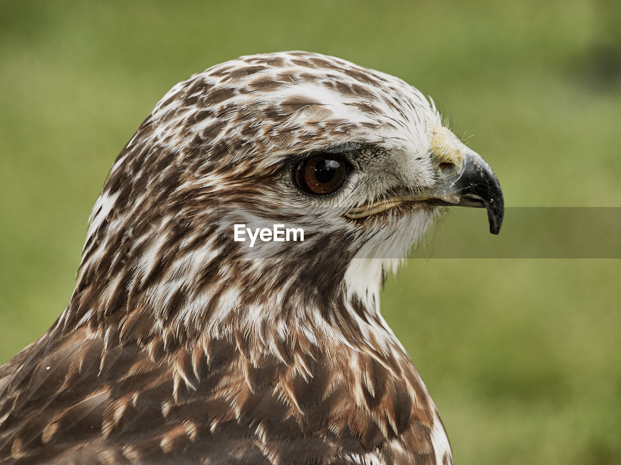 CLOSE-UP OF EAGLE OUTDOORS