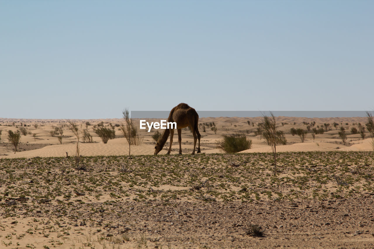 clear sky, mammal, animal themes, horse, landscape, desert, arid climate, field, nature, day, domestic animals, one animal, sand, standing, outdoors, no people, sky, animals in the wild, grazing, safari animals, full length
