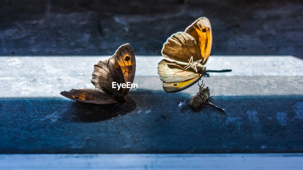 animal, animal themes, animal wing, animal wildlife, insect, animals in the wild, invertebrate, butterfly - insect, group of animals, no people, close-up, day, nature, beauty in nature, outdoors, selective focus, two animals, focus on foreground, sunlight