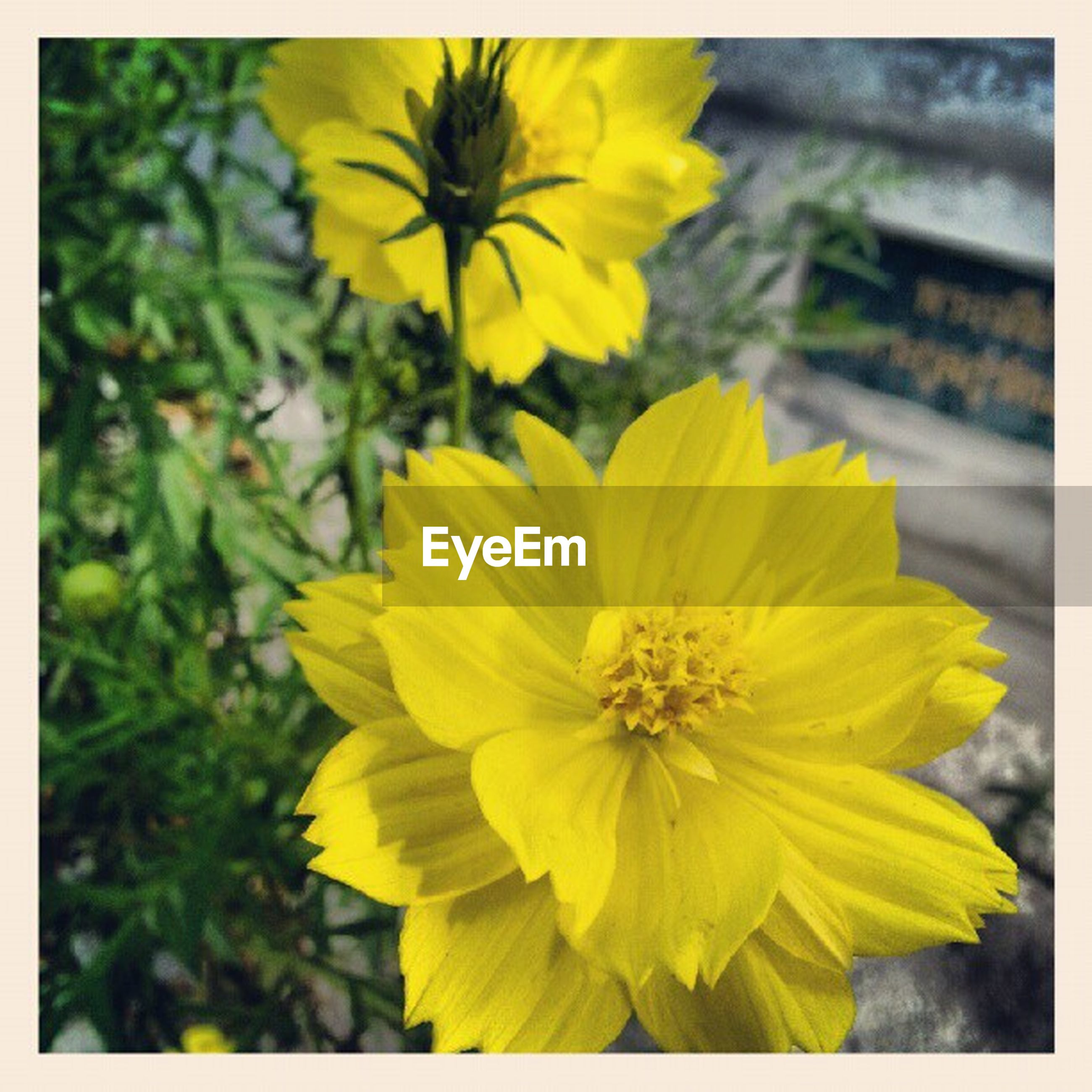 flower, yellow, transfer print, freshness, petal, fragility, flower head, focus on foreground, growth, beauty in nature, close-up, auto post production filter, blooming, nature, plant, in bloom, day, outdoors, pollen, selective focus