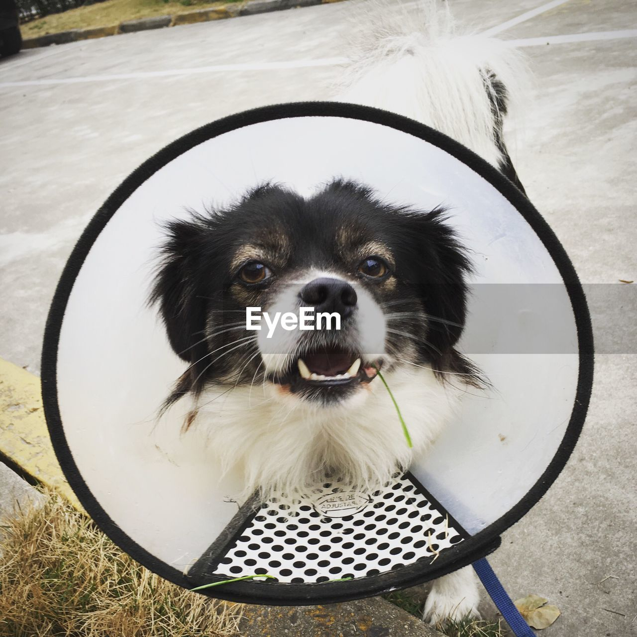 Portrait Of Injured Dog Wearing Protective Collar