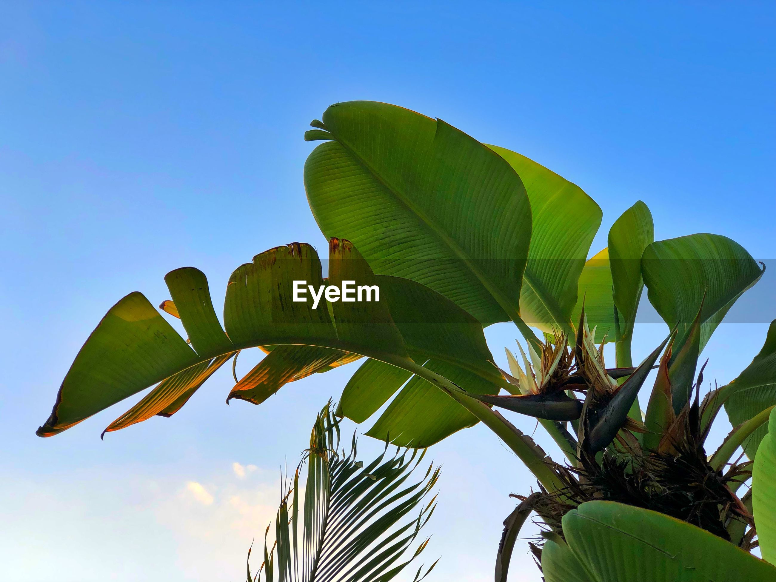 Low angle view of banana tree against blue sky