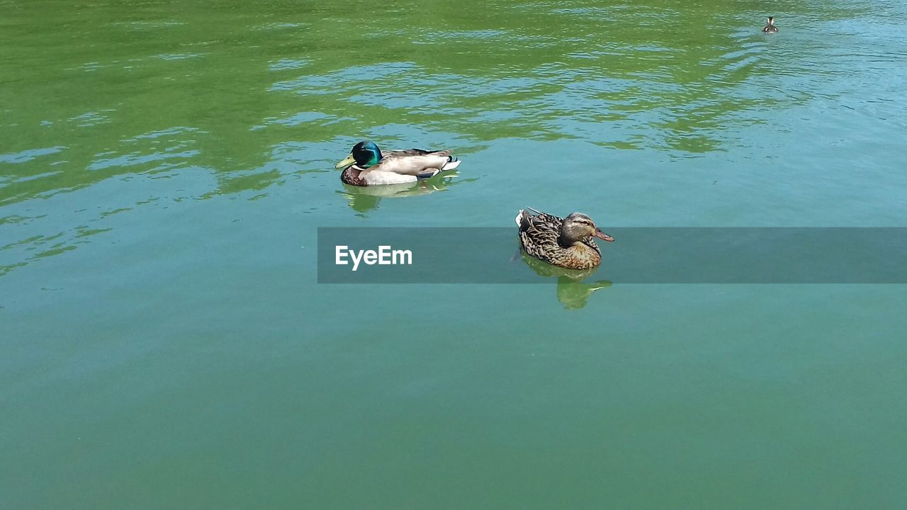 Ducks In Calm Lake