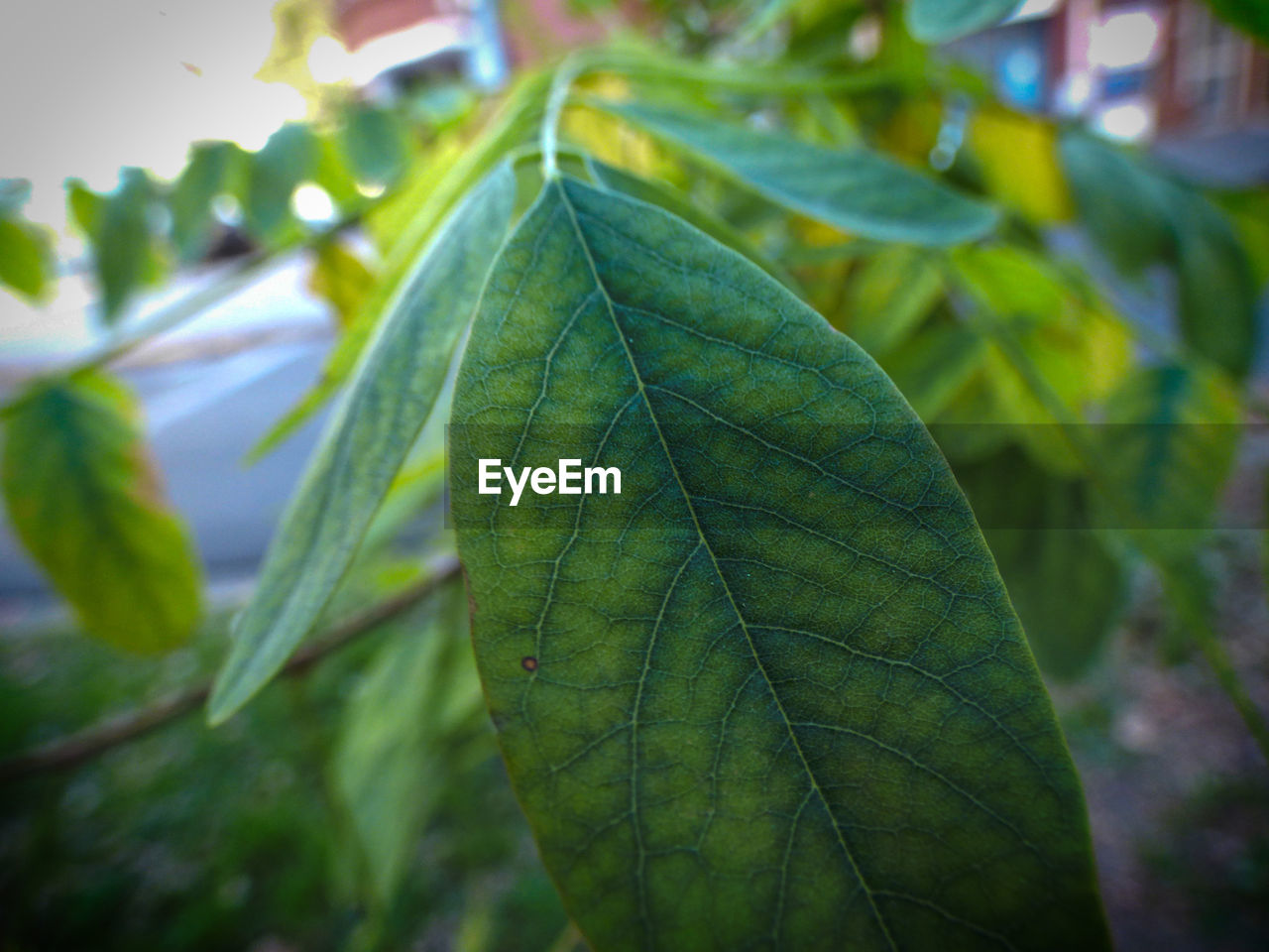 plant part, leaf, close-up, green color, plant, focus on foreground, leaf vein, growth, no people, nature, day, beauty in nature, selective focus, outdoors, freshness, leaves, natural pattern, tree, vulnerability, tranquility