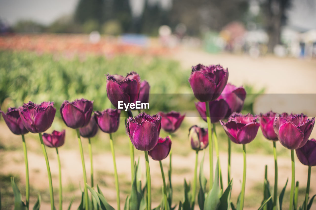flowering plant, flower, plant, beauty in nature, freshness, growth, vulnerability, close-up, fragility, focus on foreground, nature, petal, land, field, no people, pink color, inflorescence, flower head, outdoors, day, purple, softness