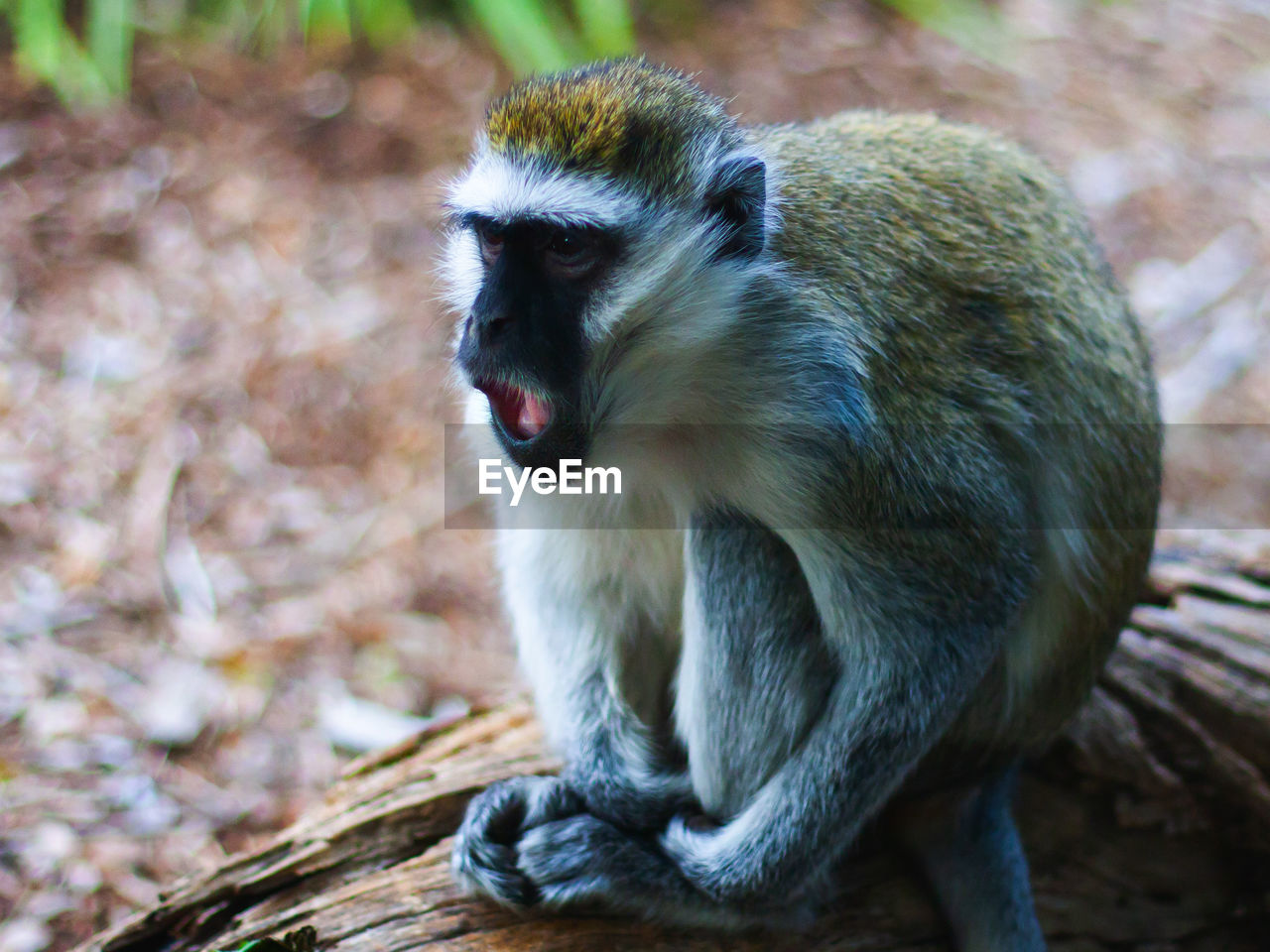 animal themes, animal, animal wildlife, animals in the wild, one animal, primate, mammal, monkey, vertebrate, mouth, mouth open, no people, focus on foreground, day, tree, nature, wood - material, close-up, outdoors, zoology