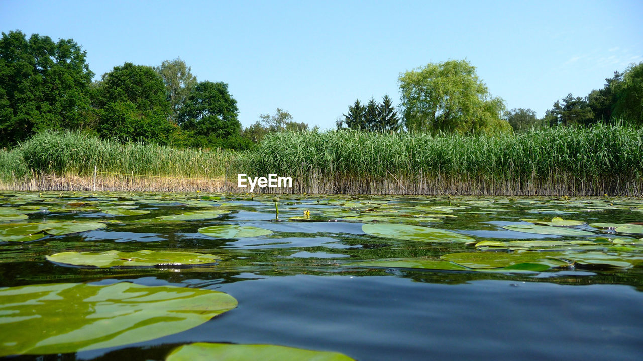 water, nature, tree, growth, tranquility, beauty in nature, green color, tranquil scene, outdoors, scenics, day, floating on water, no people, reflection, lily pad, leaf, plant, lake, sky