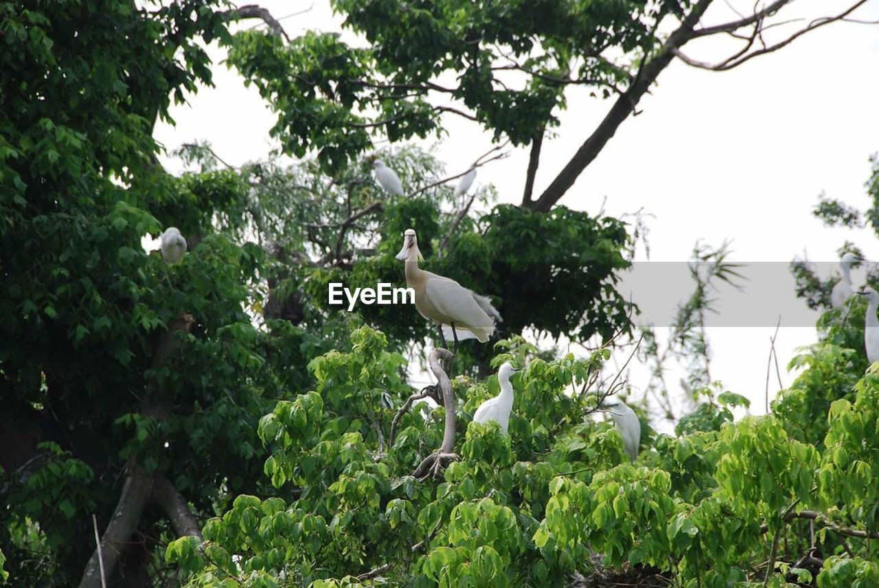 bird, tree, animals in the wild, animal themes, one animal, animal wildlife, day, low angle view, great egret, nature, growth, perching, outdoors, egret, plant, green color, no people, stork, branch, leaf, white stork, beauty in nature